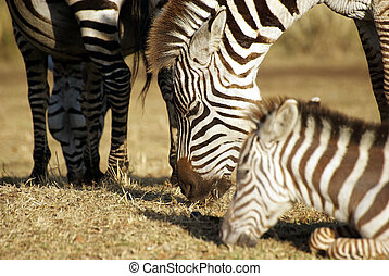 Zebra family grazing