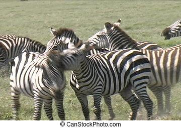 Zebra Fighting in Serengeti Tanzania Africa
