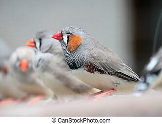 Zebra finch birds - Several zebra finch (Taeniopygia...