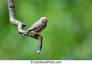 Zebra finch exotic bird sit on a tree branch