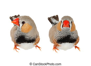 Zebra Finch male, isolated on white