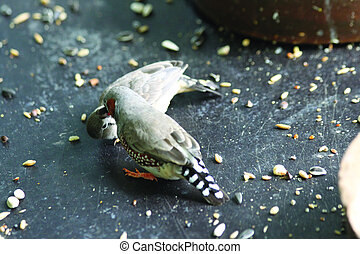 Zebra finches eating with his mouth