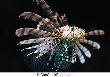 Zebra fish in water