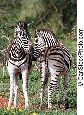Zebra Foals - Two cute young zebra foals standing together