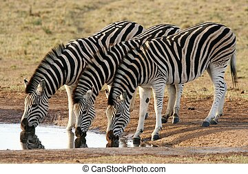 Zebra Formation - Three zebras quenching their thirst at an...