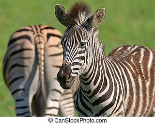 Zebra - Fuzzy baby mane
