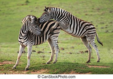 Zebra Games - Two young zebra with one trying to mount the...