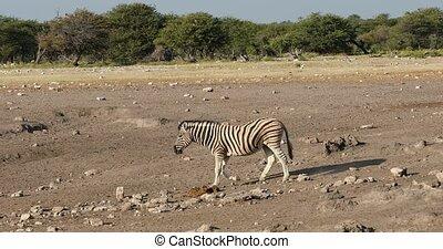 zebra go to waterhole with giraffe in background in Etosha national Park, Namibia wildlife wildlife safari