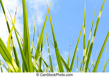 Zebra grass against blue sky