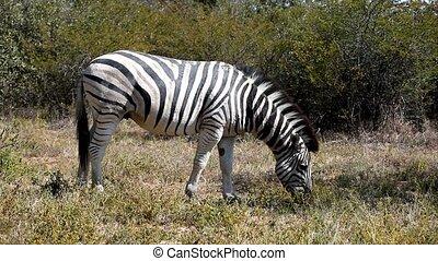 Zebra graze, Botswana, Africa safari wildlife - Zebra graze...