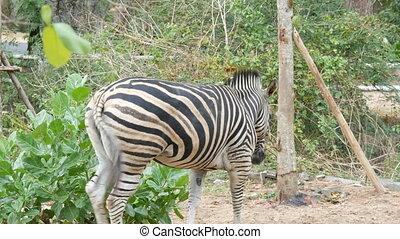 Zebra grazes on a meadow in khao kheo zoo, Thailand