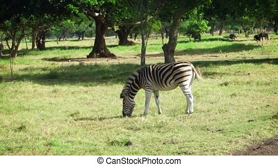 Solitary, mature zebra grazes in a field as other animals pass in the background at this nature park in Mauritius.