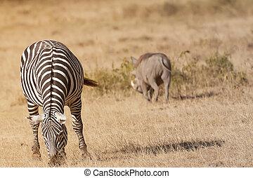 Zebra grazing in african savannah