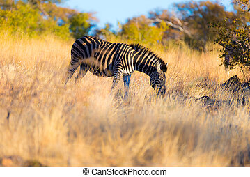 Zebra grazing in the bush at sunset. Wildlife Safari travel destination in South Africa.