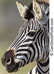 Zebra Head Portrait Wildlife - Young zebra close head...