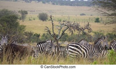 Zebra Herd and Wildebeest Antelope Together in Meadow of African Savanna