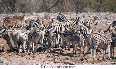Zebra Herd at Waterhole in Etosha NP