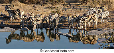 Zebra herd drinking water, Okaukeujo waterhole