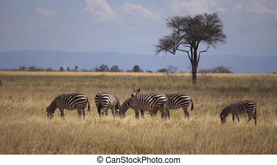 Zebra Herd Eating Grass in Meadow of African Savannah Animals in Natural Habitat
