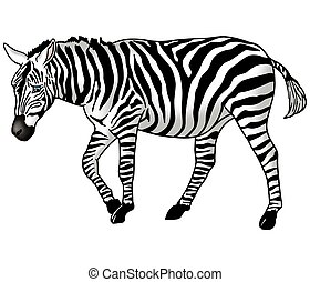 Grazing zebra - Zebra - High detailed and coloured...