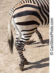 zebra hooves