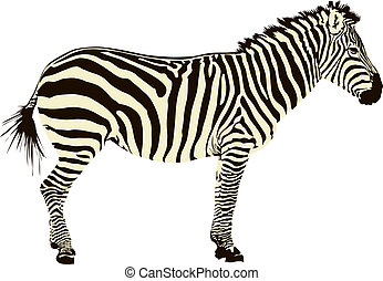 zebra, illustration