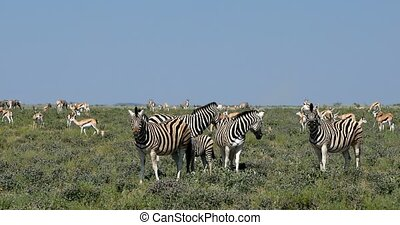 zebra in african bush, Africa wildlife