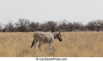 Zebra in african etosha bush, Namibia. Africa wildlife