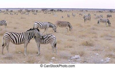 Zebra in african etosha bush, Namibia. Africa wildlife -...