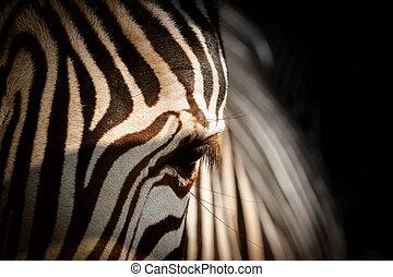 Zebra in black shine