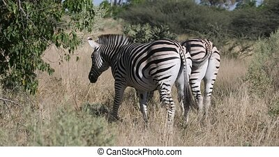 Beautiful stripped zebra head in african bush. Moremi game reserve, Botswana Africa safari wildlife Wild animal in the nature habitat.