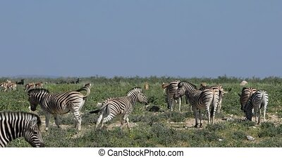 Beautiful stripped zebra herd in african bush. Etosha game reserve, Namibia, Africa safari wildlife. Wild animal in the nature habitat. This is Africa.