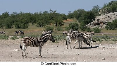 Playful stripped zebra herd in african bush with oryx in background. Etosha game reserve, Namibia, Africa safari wildlife. Wild animal in the nature habitat.