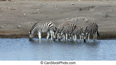 Burchell's zebra drinking from waterhole in Etosha national Park, Namibia wildlife wildlife safari
