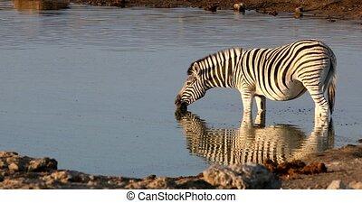 Burchell's zebra drinking from waterhole with nice reflection in Etosha national Park, Namibia wildlife wildlife safari