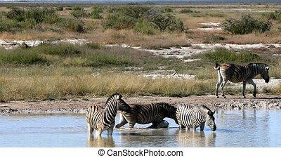 Burchells zebra in african bush bathing on waterhole, Etosha national Park, Green vegetation after rain season. Namibia wildlife wildlife safari, Africa