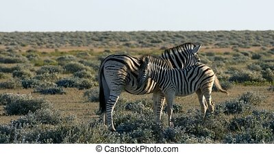 Burchells zebra in african bush, Etosha national Park, Green vegetation after rain season. Namibia wildlife wildlife safari, Africa