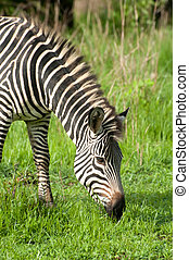 Zebra in Green Grasslands