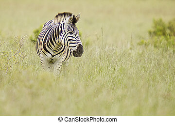 Zebra in long dry long grass
