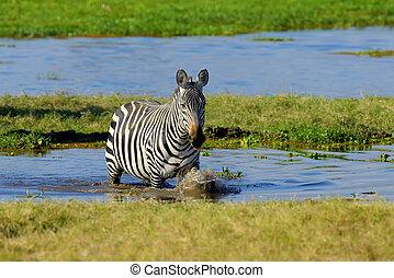 Zebra in National park of Kenya
