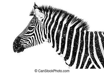 Zebra in Snow VII