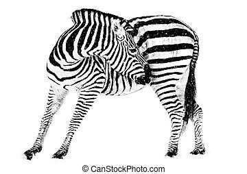 Zebra in Snow VIII