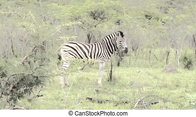 Zebra in South Africa - Zebra in African National Park...