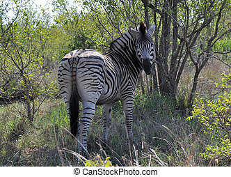 Zebra in the bush - Zebra looking around in the bushes of...