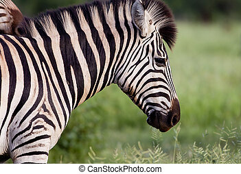 Zebra in the early morning sun in the Kruger National Park