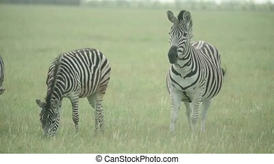 Zebra in the field. Slow motion