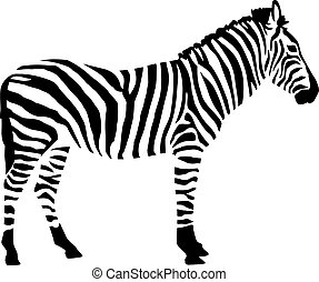 Zebra in two colors isloated