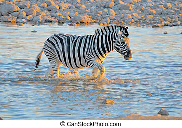 Zebra in water at sunset, Okaukeujo waterhole
