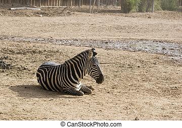 Zebra in Wild Life Zoo - Zebra taking rest in Wild Life Zoo
