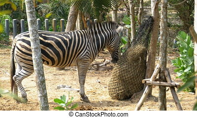 Zebra is eating hay in a sack in Khao Kheow Open Zoo....